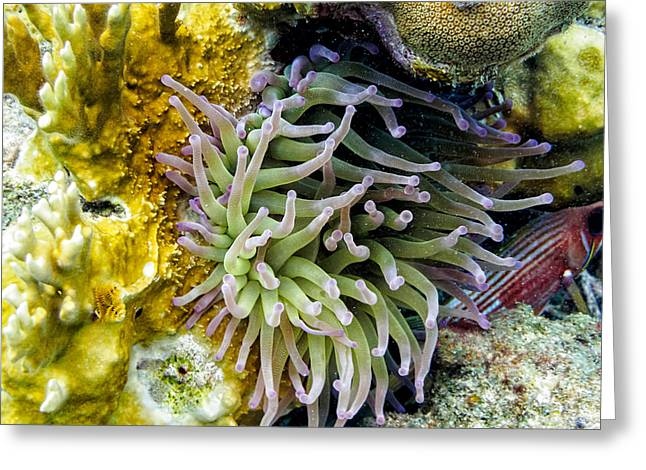 Greeting Card featuring the photograph Sea Anemone And Squirrelfish by Perla Copernik