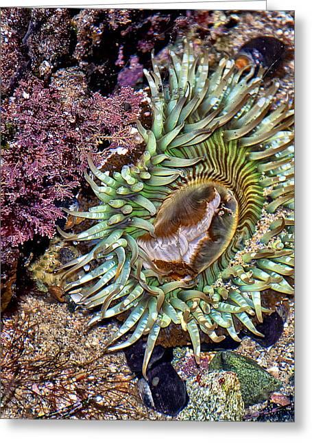 Sea Anemone Greeting Card by Loriannah Hespe