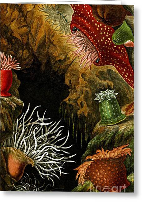 Sea Anemones, 1860 Greeting Card by Biodiversity Heritage Library
