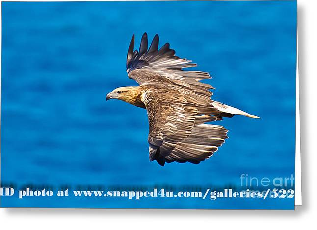 Sea Eagle 2 Greeting Card by Michael  Nau