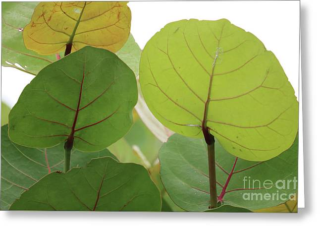 Sea Grape Leaves Greeting Card