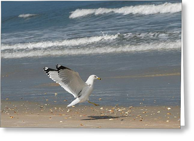 Sea Gull Landing Greeting Card by David Campione