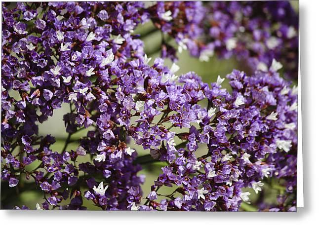 Sea Lavender Greeting Card by Teresa Mucha