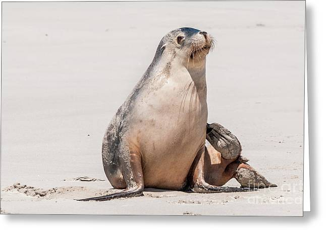 Sea Lion 1 Greeting Card