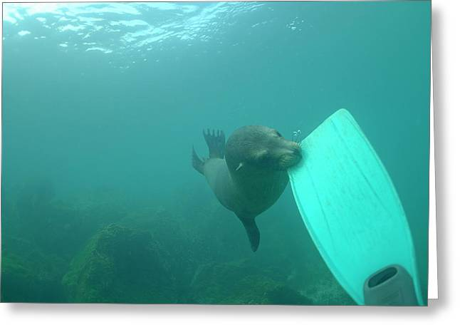 Recently Sold -  - California Sea Lions Greeting Cards - Sea lion biting a diver flipper Greeting Card by Sami Sarkis