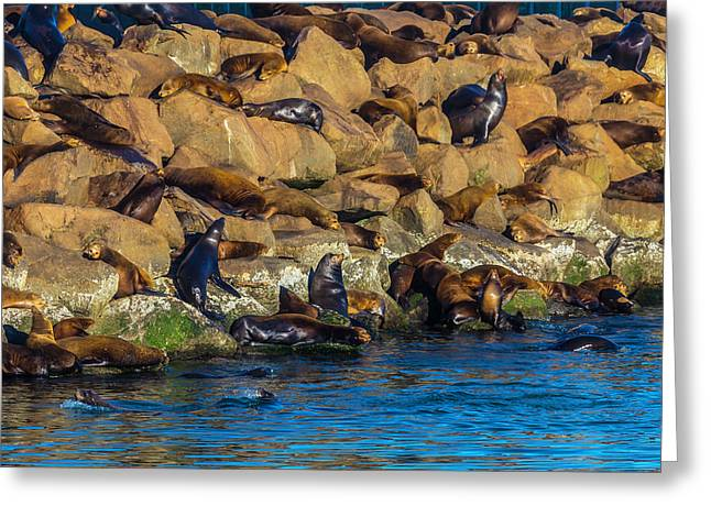 Sea Lion Coloney Greeting Card by Garry Gay