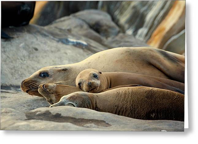 Sea Lion Family Greeting Card