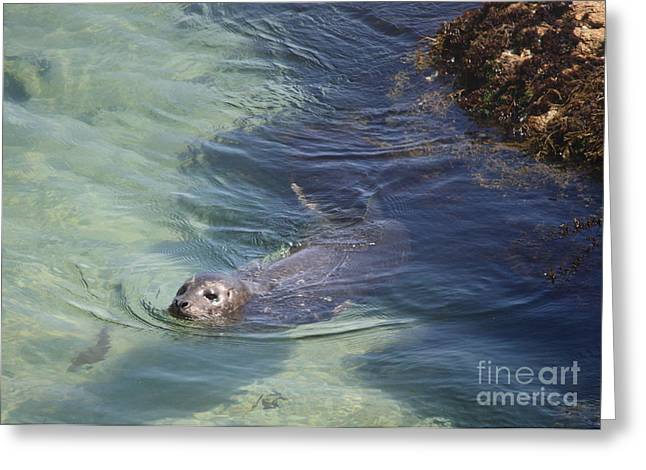 Sea Lion In Clear Blue Waters Greeting Card
