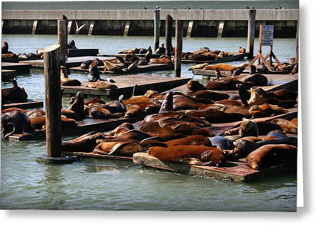 Sea Lions At Pier 39 In San Francisco Greeting Card
