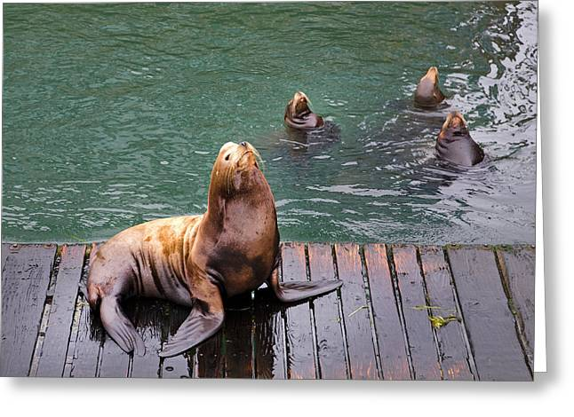 Sea Lions At Work Greeting Card by Buddy Mays
