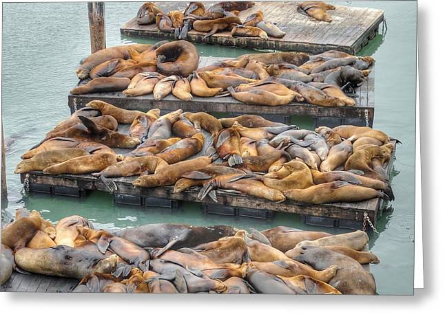Sea Lions On Deck Greeting Card