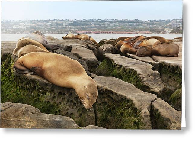 Sea Lions On Rocks Greeting Card