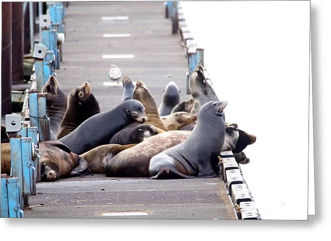 Sea Lions On The Dock Greeting Card by Jeff Swan