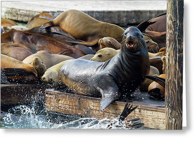 Sea Lions On The Floating Dock In San Francisco Greeting Card