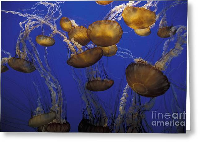 Sea Nettels Greeting Card by Stan and Anne Foster
