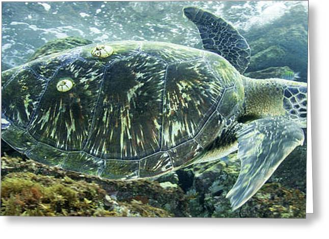 Sea Of Cortez Green Turtle Greeting Card