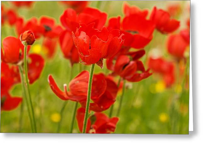 Sea Of Red Buttercups Greeting Card