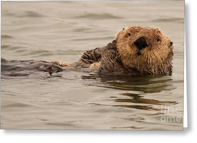 Sea Otter All Cuddled Up Greeting Card by Max Allen
