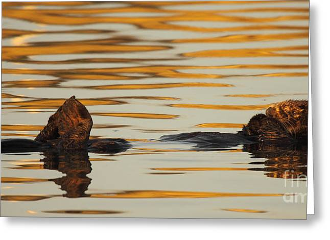 Sea Otter Laying Low In The Water Greeting Card by Max Allen