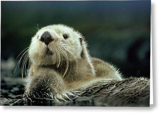 Sea Otter  Greeting Card by Tim Fitzharris