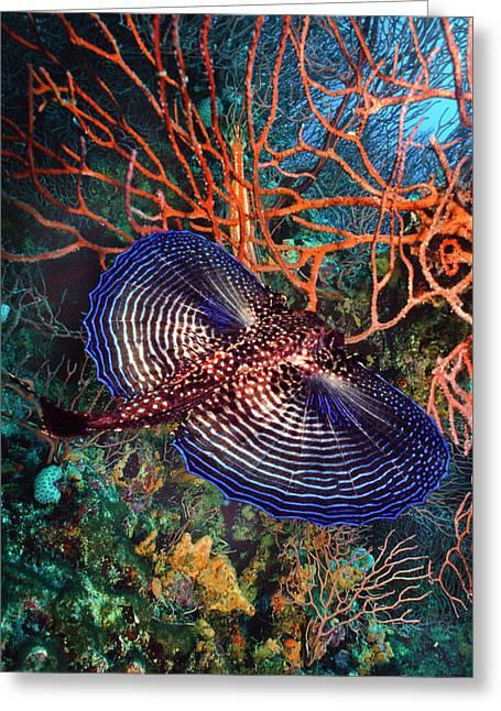 Sea Robin The Flying Gurnard Greeting Card