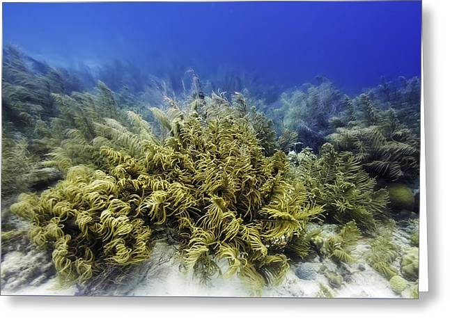 Greeting Card featuring the photograph Sea Rod Corals  by Perla Copernik