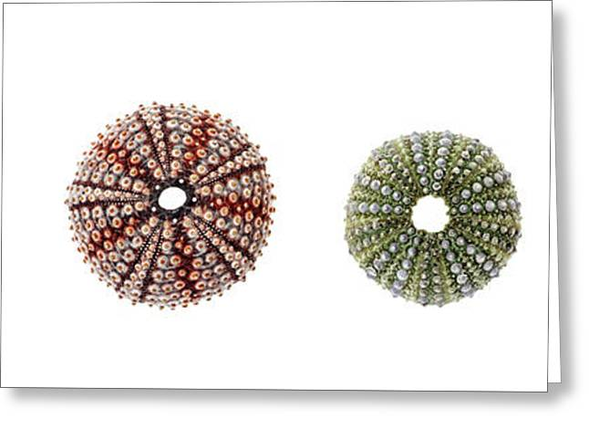 Sea Urchins Of Various Sizes Greeting Card
