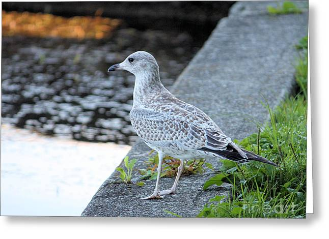 Seagull Greeting Card by Denise Jenks