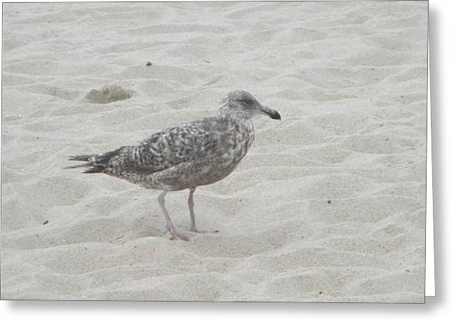 Seagull  Greeting Card by Eric Barich