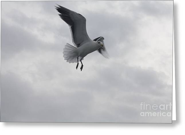 Seagull Hovering Overhead Greeting Card by John Telfer