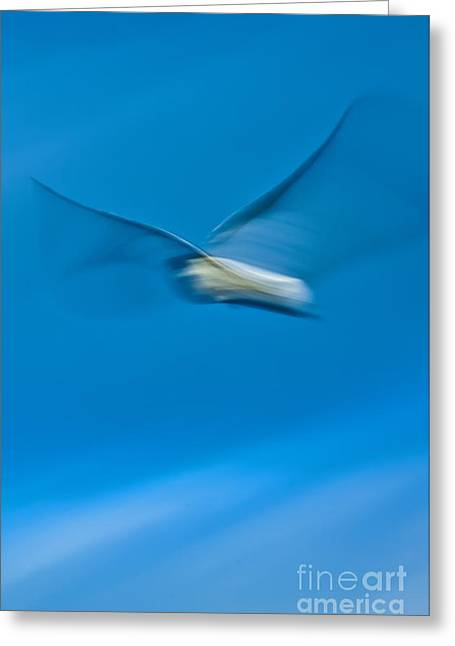 Seagull In Flight Greeting Card by Dustin K Ryan