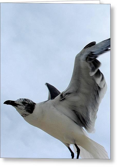 Seagull In Flight II Greeting Card