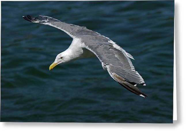 Seagull  in Flight Greeting Card by Randall Ingalls