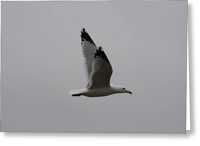 Seagull In Flight Greeting Card by Richard Mitchell