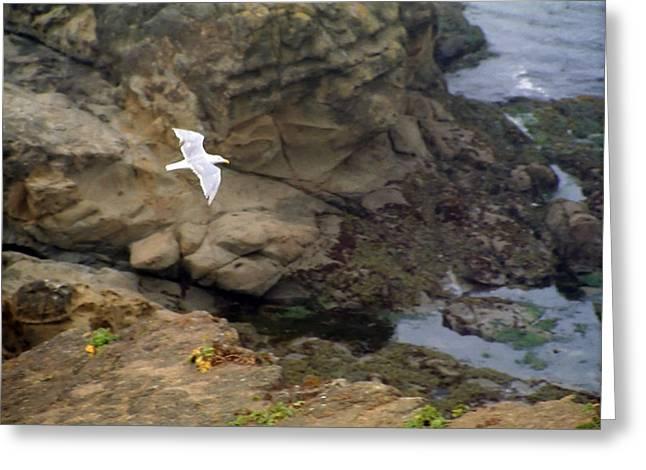 Seagull In Flight Greeting Card by Steve Ohlsen