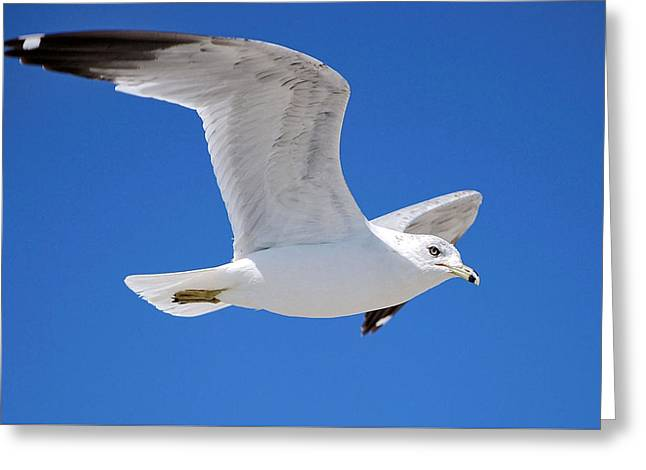 Seagull Greeting Card by Ludwig Keck