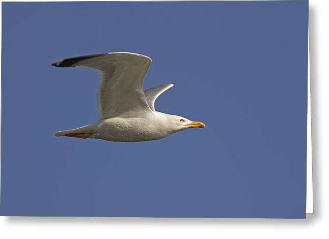 Seagull Greeting Card by Marco Amenta
