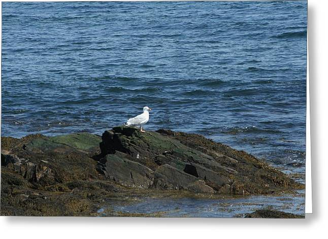 Greeting Card featuring the digital art Seagull On The Rocks by Barbara S Nickerson