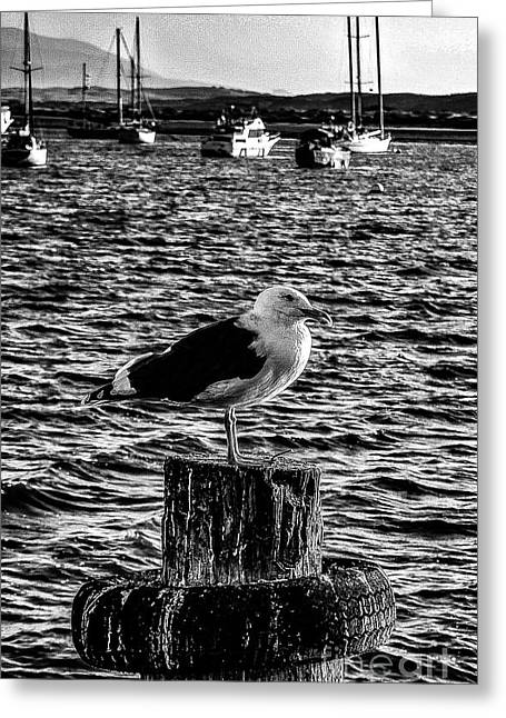 Seagull Perch, Black And White Greeting Card