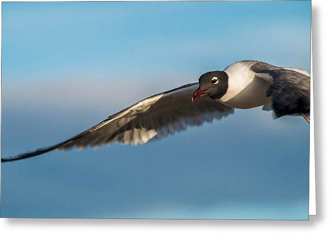 Seagull Portrait In Flight Greeting Card