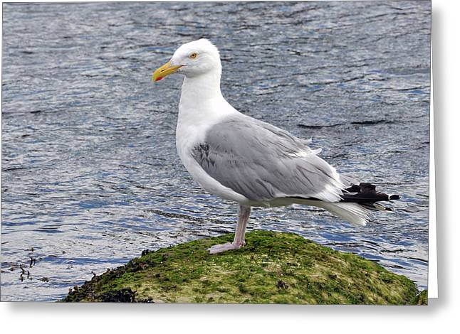 Greeting Card featuring the photograph Seagull Posing by Glenn Gordon