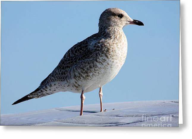 Seagull Resting Greeting Card by Denise Jenks