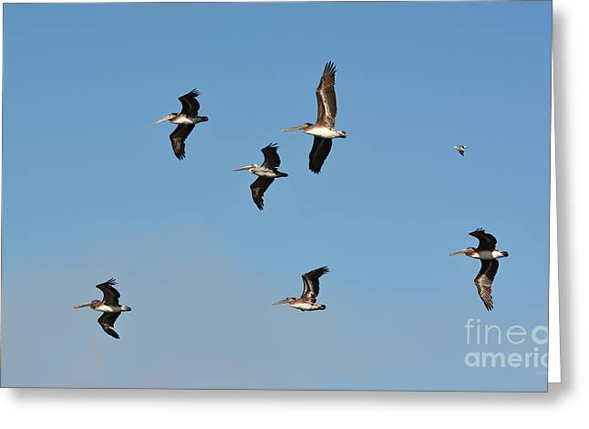 Seagull Soaring With Pelicans Greeting Card