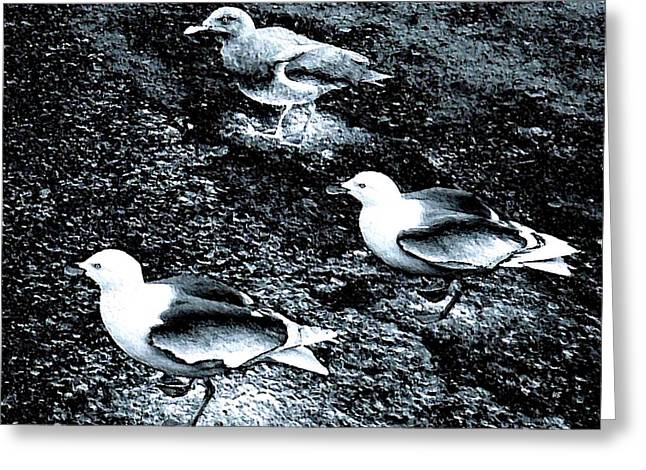 Seagull Trio Greeting Card by Will Borden