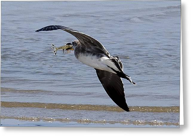 Seagull With Shrimp Greeting Card