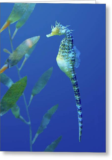 Seahorse Greeting Card by Nikolyn McDonald