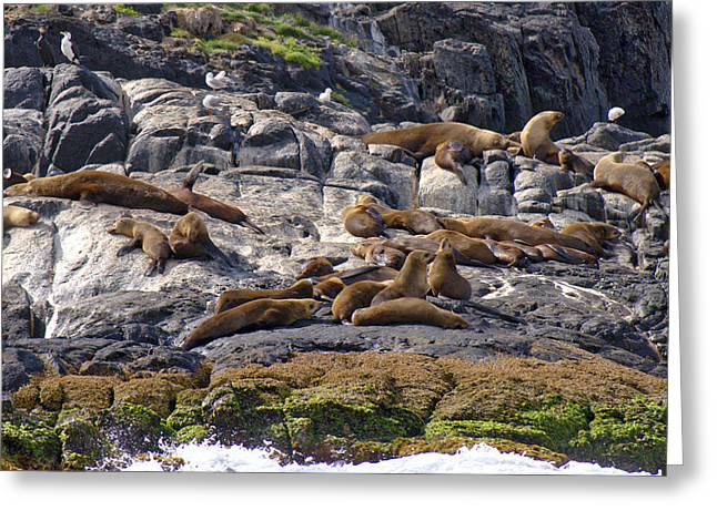 Seal Colony - Montague Island - Australia Greeting Card