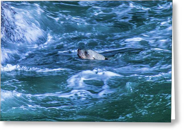 Greeting Card featuring the photograph Seal In Teh Water by Jonny D
