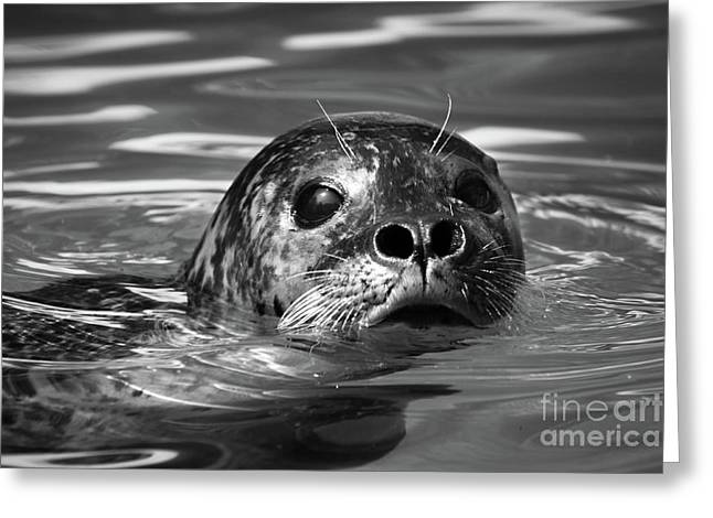 Seal In Water Greeting Card