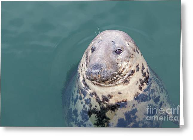 Seal With Long Whiskers With Head Sticking Out Of Water Greeting Card